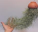 황토걸이분[M]수염틸란드시아폭스테일/에어플랜트(공중식물)/小品/공기정화식물/인테리어효과도좋아요..._