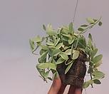 [초特价]디시디아迷你白色的[小品][틸란드시아]틸란디시디아A급/에어플랜트(공중식물)/小品/공기정화식물/인테리어효과도좋아요._