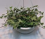 Ivy별아이비무늬걸이분(大)/아이비/별아이비/공기정화식물_