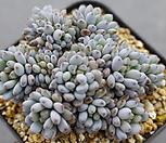 7141.蓝豆스_Graptopetalum pachyphyllum Bluebean