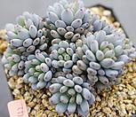 7142.蓝豆스_Graptopetalum pachyphyllum Bluebean