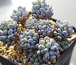 7145.蓝豆스_Graptopetalum pachyphyllum Bluebean