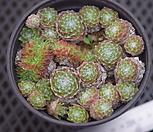 蛛丝卷绢缀化_Sempervivum arachnoideum tomentosum