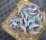 큐빅雪锦星群生_Echeveria pulvinata Frosty