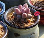 粉色婴儿手指_Pachyphytum 'Machucae' (baby finger)