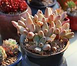 老庄是千代田之松自然群生_Pachyphytum 'compactum var. glaucum'