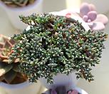 迷你碧魚蓮_Corpuscularia lehmanni
