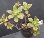 艳日辉一体_Aeonium decorum f variegata