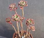 双色莲合并_Echeveria bicolor