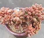 千代田之松缀化_Pachyphytum compactum