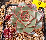 罗西马벨바라4头自然群生_Echeveria longissima