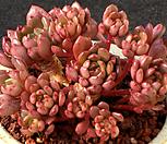 红宝石老庄3327_Sedeveria pink rubby