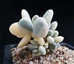 乒乓福娘锦_Cotyledon orbiculata cv variegated
