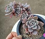 红粉佳人(桩)_Echeveria Pretty in  Pink