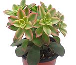 艳日辉(카라솔)_Aeonium decorum f variegata