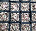 双贝瑞(30개)7402-4065_Echeveria 'Twin Berry'