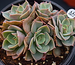 范女王_Echeveria fun queen
