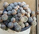 왕蛛丝卷绢_Sempervivum arachnoideum tomentosum