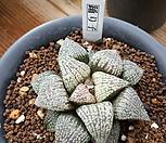 홍리자Haworthia picta种子(5립)_Haworthia picta