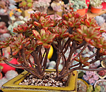 日本小松_Aeonium  sedifolius