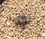 Conophytum 무늬종24_Conophytum
