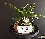 관암(大)/난/동양란/나라아트/부귀란/풍란/공기정화식물_