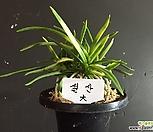 설산(大)/난/나라아트/동양란/부귀란/풍란/공기정화식물_