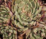 原始绿爪519_Echeveria mexensis 'Zaragosa'