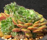 왕비锦司晃3365_Echeveria setosa Hybrid