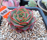 原始种罗西马(墨西哥)2-940_Echeveria longissima