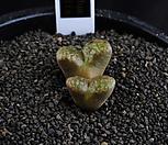 XP1221-Conophytumpellucidums.concordia콘코르디아産2头_