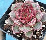 罗西马100_Echeveria longissima