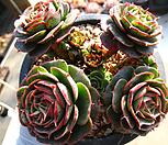 澳大利亚罗西马(老庄自然群生25头이상)0218-2_Echeveria longissima