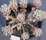 绿豆7476*_Echeveria amoena Microcalyx