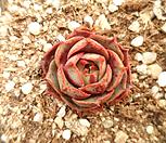 15-丸葉罗西马_Echeveria longissima