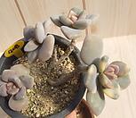 石蓮花錦(变异)-408_Pachyveria Pachyphytodies