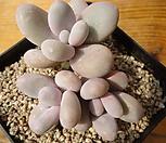 615moonstone_Pachyphytum Oviferum Moon Stone