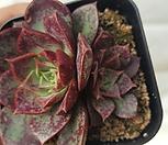 罗西马벨바라-01_Echeveria longissima