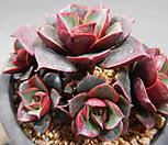 日本原始种罗西马10头群生(紫心)2018-2501_Echeveria longissima