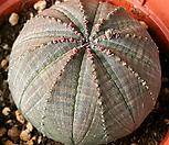 草玉露_Haworthia cymbiformis var. obtusa