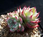 卡罗拉_Echeveria colorata