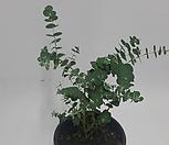 [좋은가격]유칼립투스(중小品)/모종/꽃모종/海滨格瑞/가자니아/三色堇/비올라/꽃양귀비_Echeveria halbingeri