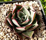 罗西马브라키안타183_Echeveria longissima