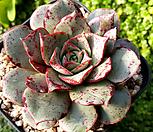 罗西马벨바라182_Echeveria longissima