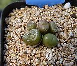 Conophytum 318_Conophytum
