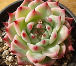 419卡罗拉_Echeveria colorata