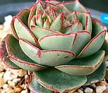 丸葉罗西马_Echeveria longissima