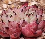 검은가시흑原始绿爪群生血色_Echeveria mexensis 'Zaragosa'