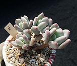 三日月美人自然群生_Pchyphytum oviferum mikadukibijin