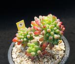 乙女心缀化_sedum pachyphyllum